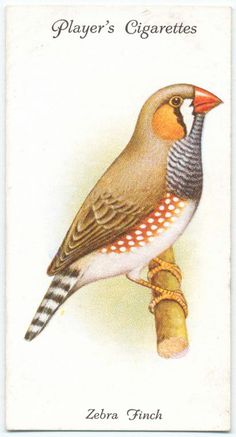 Zebra Finch. From New York Public Library Digital Collections.