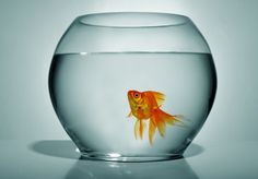 Keeping a betta fish or goldfish in a small fish bowl is equivalent to soaking in a bathtub contaminated by your own waste Large Fish Tanks, Small Fish, Goldfish Tank, Goldfish Bowl, Different Fish, Cute Fish, Tropical, Red Fish, Art Challenge