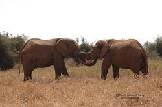 Elephants in Selenkay Conservancy (Amboseli eco-system). The area is renowned for its good elephant populations.