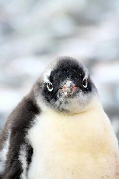 Cute Gentoo penguin chick.