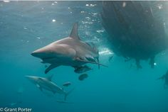 Our shark diving interns spend a lot of time with these amazing marine animals. Photo by underwater photography intern, Grant Porter. Shark Diving, Underwater Photography, Fighter Jets, Amazing, Shots, Africa, Animals, Check, Water Photography