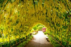 """Come and see our famous """"Golden Chain Tree"""" Laburnum Arbor in person in all of its stages. Golden Chain Tree, Whidbey Island Washington, House Plants For Sale, Oak Harbor, Bonsai Seeds, Fantasy Landscape, Farm Gardens, Garden Planning, Beautiful Gardens"""