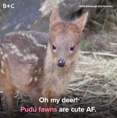 World's Smallest Deer Is Too Cute For Words These little deer will steal your heart.These little deer will steal your heart. Cute Funny Animals, Cute Baby Animals, Nature Animals, Animals And Pets, Animals Tattoo, Small Deer, Cute Animal Videos, Tier Fotos, Mundo Animal