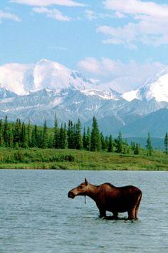 The Moose and the Mountain at Denali National Park ~ http://suitcasesandsunsets.com/denali-national-park.html