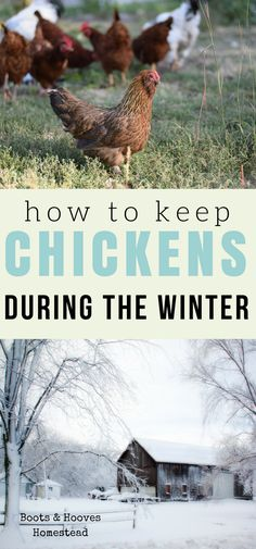 Keeping chickens during the winter time can be tricky business. Here is what I'd like to call the ultimate winter chicken keeping guide.
