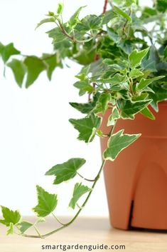 How to propagate english ivy in water. This simple method of ivy propagation is easy to do and can multiply your ivy plants in no time. English Ivy Indoor, Ivy Plant Indoor, English Ivy Plant, Outdoor Plants, Indoor Garden, Ivy Houseplant, Ivy Plants, Water Plants, Butterfly Plants
