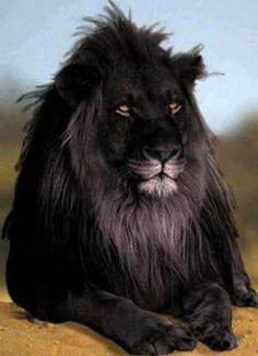 The opposite of albinism called melanism, a recessive trait where the skin and fur are all black. This is perhaps the most beautiful lion I have ever seen. FROM LION KING IS MELANISM! Beautiful Creatures, Animals Beautiful, Beautiful Children, The Secret Of Moonacre, Animals And Pets, Cute Animals, Wild Animals, Black Animals, Exotic Animals