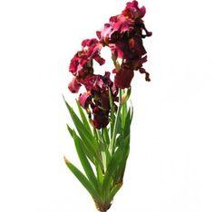 cutout flowers: tall bearded iris (free flower images TB iris)