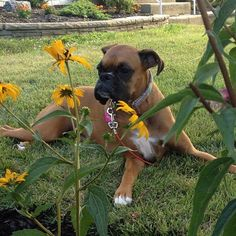 Cooper is playing foreman while @cksabellico and I plant flowers #boxer #funny…