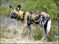 Soon African wild dog pictures like these might be all we have left to remind us of this remarkable animal whose shrinking habitat is pushing them ever closer to extinction. African Hunting Dog, African Wild Dog, Hunting Dogs, African Safari, Endangered Animals List, List Of Animals, Work With Animals, Wild Animals, Endangered Species