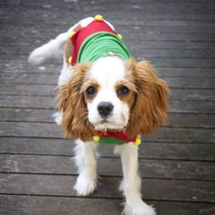 Cavalier Sadie - December the 1st today and the Christmas countdown has begun! Here I can be seen wearing my favourite 'Santa's little elf' outfit. Such a poser! ❤️