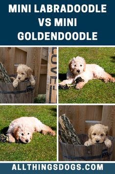 While Mini Labradoodles are more reserved in new situations and with new people, Mini Goldendoodles have a naturally outgoing demeanor which makes them a friend to all. Read on to learn about other differences between the mini labradoodle vs mini goldendoodle.  #labradoodlevsgoldendoodle #minilabradoodlevsminigoldendoodle #goldendoodlevslabradoodle Brown Labradoodle, Australian Labradoodle, Mini Goldendoodle, Labradoodles, Goldendoodles, Best Dogs For Families, Family Dogs, Miniature Dog Breeds, Goldendoodle