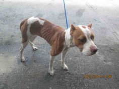 GONE --- NIKIE (A1655391) I am a female white and brown Pit Bull Terrier.  The shelter staff think I am about 3 years old.  I was found as a stray and I may be available for adoption on 11/02/2014. — hier: Miami Dade County Animal Services. https://www.facebook.com/urgentdogsofmiami/photos/pb.191859757515102.-2207520000.1414452804./863640403670364/?type=3&theater