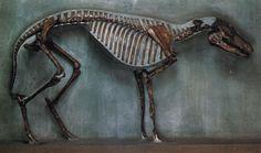 Hyracotherium - dawn horse - skeleton   fossil equine   Britannica.com - AMNH
