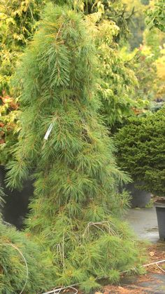 Pinus strobus 'Blue Fountain' - Conifer Kingdom