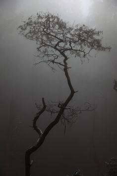 Other-world image of a Silver Wattle tree, Marysville, Victoria.  www.marysvilletourism.com