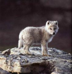 baby arctic wolf