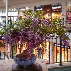 """BONSAI  Mi piace"""": 36, commenti: 1 - L'ABC del Verde (@abcdelverde) su Instagram: """"Glicine in fiore. Esemplari delle collezioni L'ABC del Verde #bonsai #glicine #wisteria…"""""""