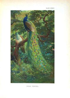 Peacock. Living Room wall art. Maybe.