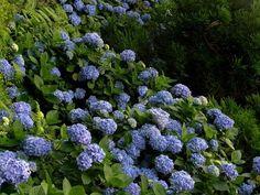hydrangea macrophylla - harrie boerhof hoveniersbedrijf tuincentrum