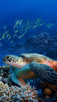 Photo about Red sea diving big sea turtle sitting on colorful coral reef. Image of closeup, bottom, hawaii - 28259746 Beautiful Creatures, Animals Beautiful, Largest Sea Turtle, Red Sea Diving, Fauna Marina, Big Sea, Turtle Love, Wale, Abstract Canvas Art