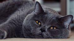 Leżący, Kot brytyjski krótkowłosy