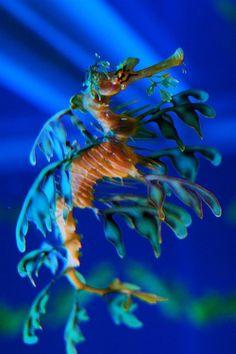 Leafy Sea Dragon by lecates