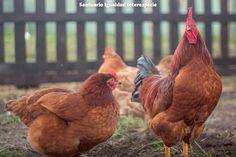 Niños con plumas!  Obedecen a su madre tienen una excelente memoria una capacidad de aprender impresionante les encanta salir de excursión saltar correr darse baños. Andan en grupos con complejas jerarquías conversan y transitan de un lugar favorito en otro. Si estamos hablando del maravilloso mundo de los gallos y las gallinas :)  Si bien se ha determinado que los gallos y gallinas tienen la inteligencia de un niño de 4 años las gallinas aún siguen siendo uno de los animales más…