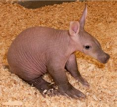"""Long time ZooBorns readers and anyone whose read our books will know Amani the Aardvark, born in December of Today, Detroit Zoo announces the arrival of Amani's kid sister, Roxanne, born on January """"Aardvarks are believed to be. Cute Baby Animals, Animals And Pets, Animals Of The World, Cute Little Baby, Cute Babies, Animal Antics, Animal 2, Wild Dogs, Tier Fotos"""