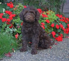 Portuguese Water Dog Rescue | Portuguese water dog puppies for adoption - Alamosa - (582x437 - 20kB)