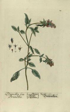 img/gravures anciennes de plantes medicinales/prunella seu brunella.jpg