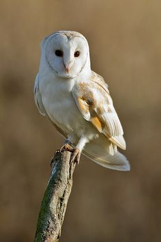 Source: Flickr / ivanellison  #barn owl