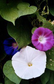 Die #Trichterwinde sollte in großen Kästen & Kübeln ausgesät werden, da sie, gerade bei heißem Wetter ziemlichen Durst entwickeln kann.  Bereits Ende Apr. können die Körnchen im Gartenbeet oder in Kästen ausgesät werden. Wird es nochmal richtig kalt, kann man sie auch mit einem Vlies abdecken.   Ab Juni blüht die Trichterwinde geradezu unermüdlich bis weit in den Herbst hinein und bringt jeden Tag neue Blüten hervor. Trichterwinden gepflanzt zusammen mit Sternwinden bilden schönen…
