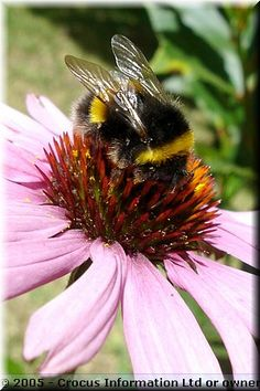 Our common fuzzy bumble bee...love em