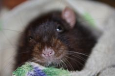 Bounty Les Rats, Animals, Dumbo Rat, Animales, Animaux, Animal, Animais, Dieren