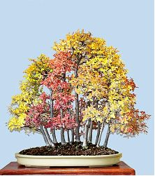 Chinese Elm Forest(Autumn View)