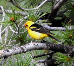 Western Tanager (juv m)