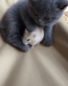 A smol cute cate with a smol cute hamster -Cat love, best friends the perfect indoor companion. Cute Hamsters, Cute Kittens, Cats And Kittens, Funny Cat Videos, Funny Cats, Cute Baby Animals, Funny Animals, Gato Gif, Cat Memes
