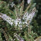 Hebe 'Champagne'. Long-flowering, evergreen shrub with spikes of pale lavendar tinted white flowers from July to Sept.