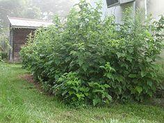 raspberry pruning tips