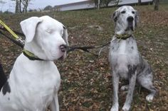 More about Lily the Great Dane with no eyes and Maddison, her guide dog......