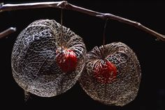 Alchechengi (Physalis alkekengi)