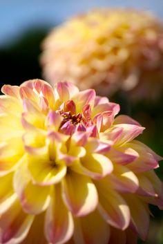 prettylittleflower:    2012 Dahlia #3 (by Yorkey)