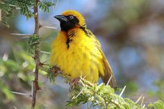 Wikłacz łuskowaty (Speke's Weaver) - Tanzania || www.szczytyafryki.pl || #Tanzania #Ptaki #Afryka