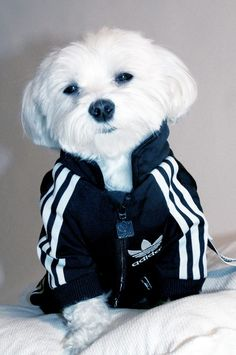 athlete | via tumblr... This dog looks a lot like my dog stittles.. He a maltese too. They are the best dogs..