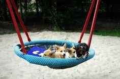 corgi puppies in a hammock Corgi Rescue, Corgi Dog, Marley Dog, Animals And Pets, Cute Animals, Dog Suit, Pembroke Welsh Corgi, Hammock, Puppy Love