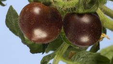 The prospect of genetically modified purple tomatoes reaching the shelves has come a step closer. The pigment, known as anthocyanin, is an antioxidant which studies on animals show could help fight cancer. Scientists say the new tomatoes could improve the nutritional value of everything from ketchup to pizza topping.