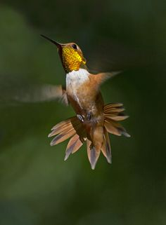 Rufous Hummingbird | The Audubon Birds & Climate Change Report