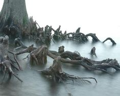 Anthropomorphic tree. Anthropomorphism is the recognition of people-like characteristics in animals, plants or non-living things.This tree can be found in the Outer Banks of North Carolina.