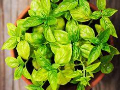 8 Pflanzen gegen Mücken für Balkon, Garten und Wohnung   Wunderweib Feng Shui, Vegetable Garden, Vegetables, Health, Green, Plants, Mantra, Wicca, Detox